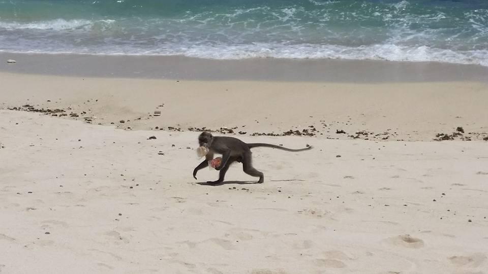melasti-beach-monkey